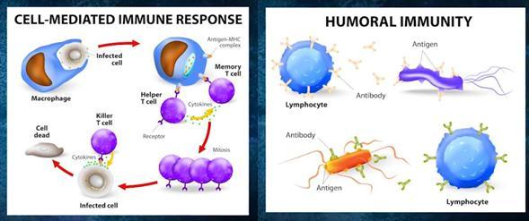 Komórkowa i humoralna odpowiedź