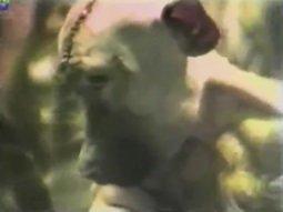 Wiwsekcja - operacja mózgu na małpie