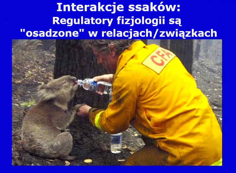 Interakcje ssaków - człowiek i koala