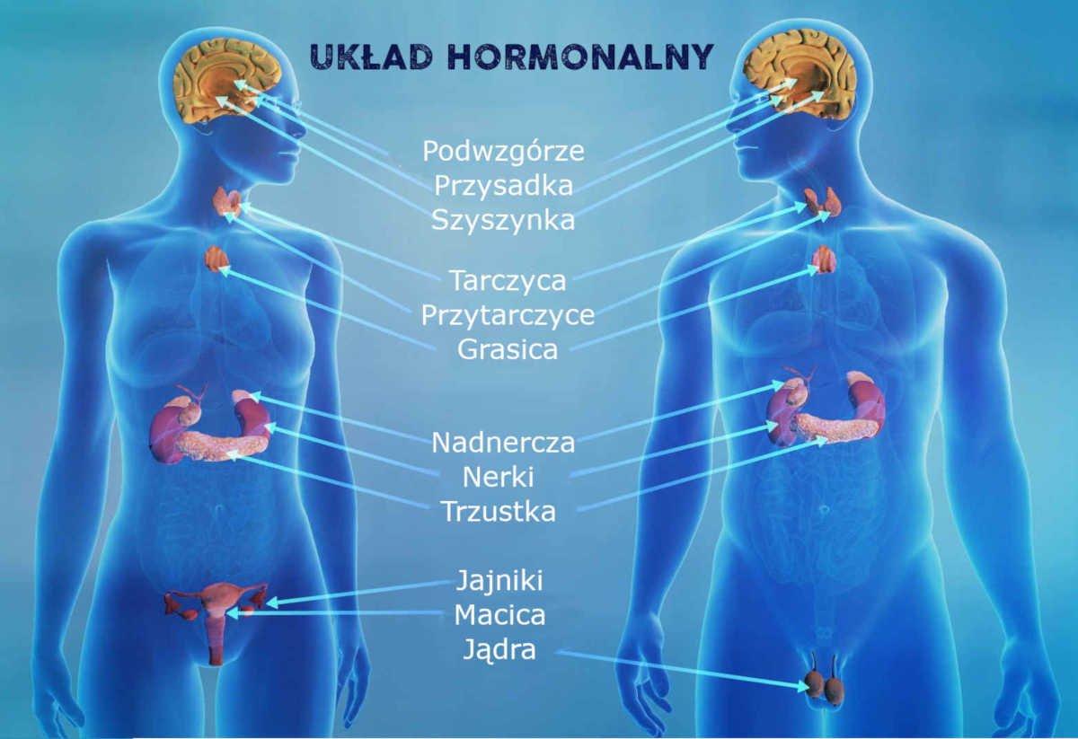 Sekretne składniki-Układ hormonalny