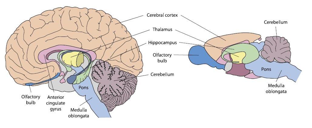 Ludzki (lewy) i myszy (prawy) mózg, obrazy nie są wykonane w skali.