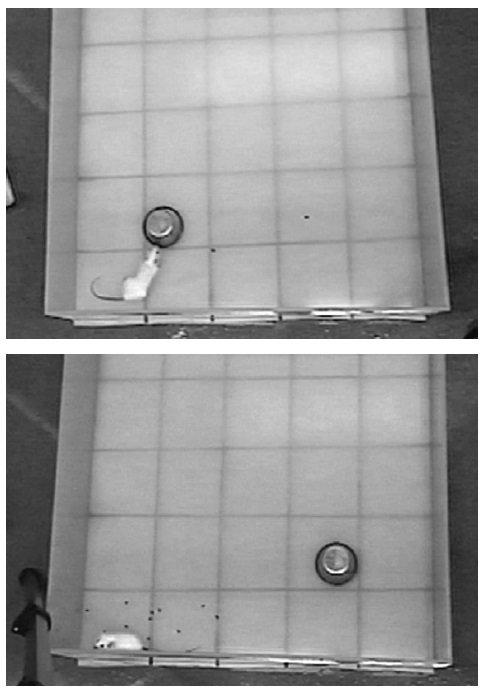 Normalna mysz bada nieznany obiekt z zachłanną ciekawością