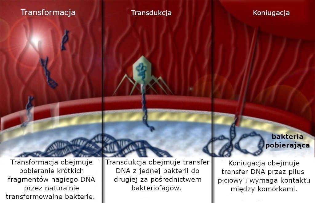 Poziomy transfer genów lub horyzontalny transfer genów