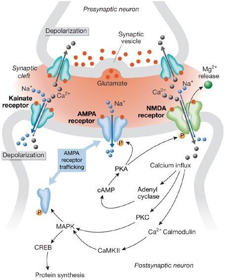 komórka mózgu łączy się z drugą poprzez tę synapsę