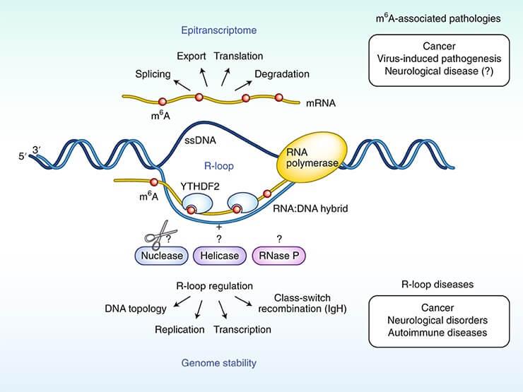 Stabilność genomu