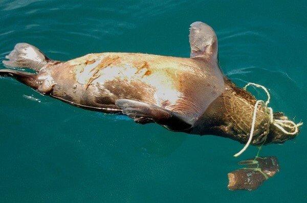 Lew morski uduszony przez narzędzia połowowe