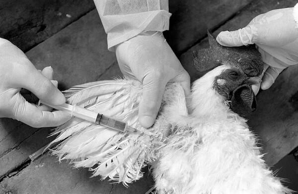 inspektorzy pobierają od kurczaka próbkę krwi do badania na obecność ptasiej grypy - Więcej wirusów niż gwiazd